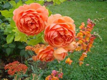Особенности пионовидных роз
