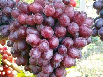 Сорт винограда Шоколадный