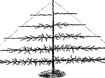 Крона в виде веретена