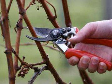 Обрезка винограда сорта дамские пальчики