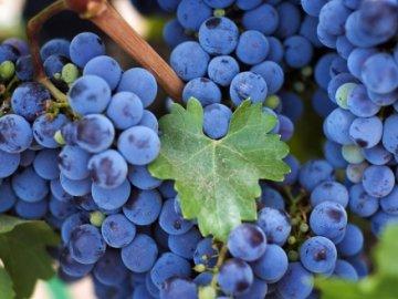 Общая информация о винограде сорта таежный