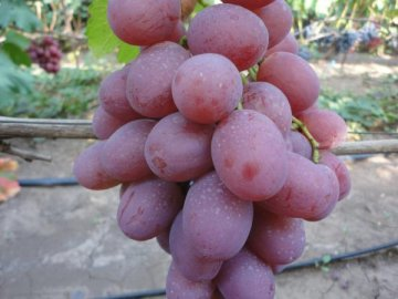 Сорт винограда Виктор: преимущества и особенности выращивания