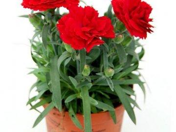 Правила выращивания комнатной гвоздики