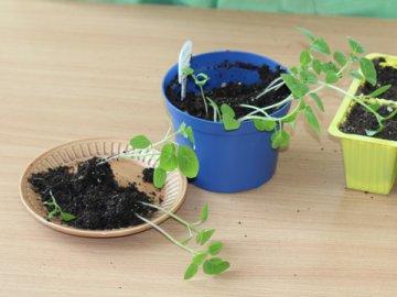 Выращивания физалиса из семян