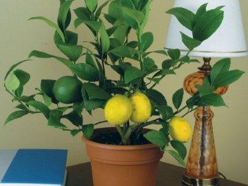 описание комнатного лимона