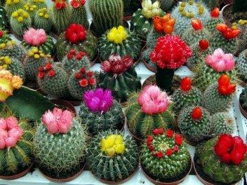 Лучшие сорта домашних кактусов