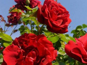 Разнообразие плетистых роз