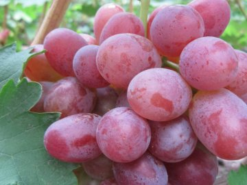 Популярные сорта раннеспелого винограда