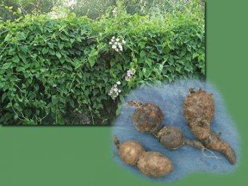 Агротехника растения