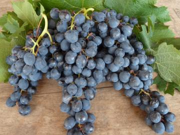 виноград Саперави северный