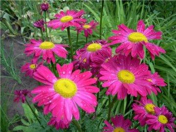Разновидности садовой ромашки