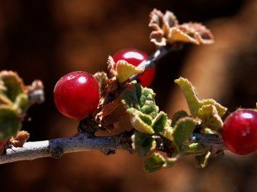 Разновидности песчаной вишни
