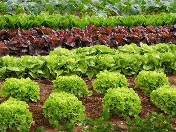 Виды салата листового
