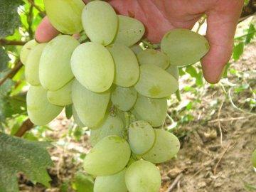 Применение винограда сорта Монарх