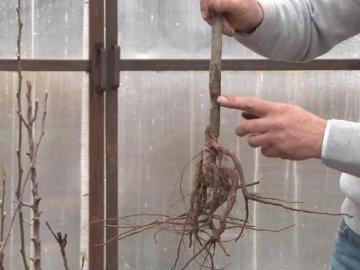 Семенной подвой: описание и выращивание