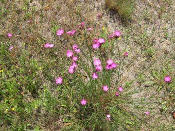Выращивание и уход за полевой гвоздикой