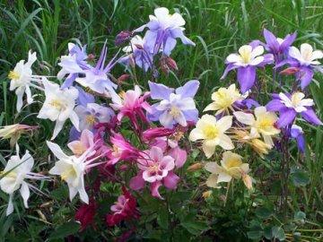 Водосбор цветы