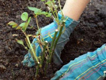 Роза как вырастить из черенка в домашних условиях в картошке