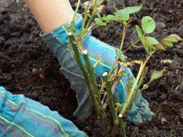 Посадка и выращивание тепличных роз