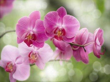 Описание орхидеи