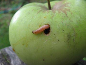 Самые часто встречающиеся гусеницы-вредители