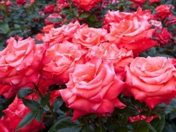Видовое разнообразие роз: лучшие сорта