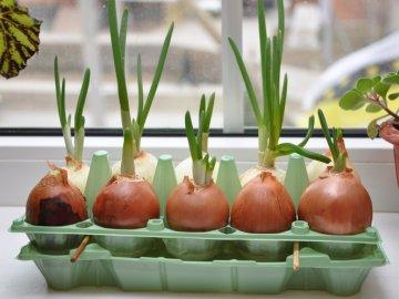 Выращивание лука на воде