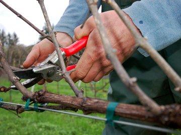 Осенне-зимняя обрезка винограда