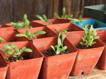 Размножение и посадка растения