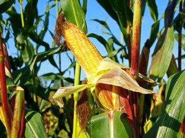 Лучшие предшественники для кукурузы на силос