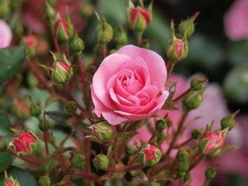 Популярные сорта комнатной розы