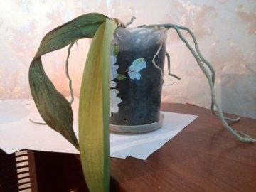 Сохнет орхидея: причины и возможные заболевания