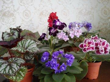 Бегония комнатная: виды и сорта