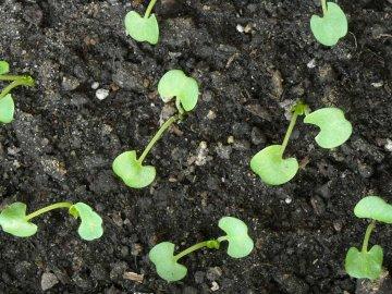 Размножение садовой глоксинии