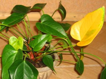 Желтеют листья - причина: неправильный уход