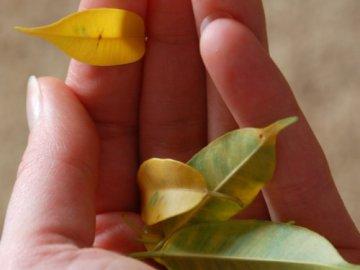 Фикус сбросил листья? Ищем причину