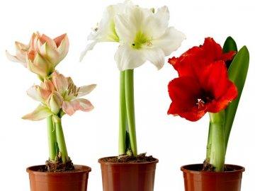 Гиппеаструм – описание растения