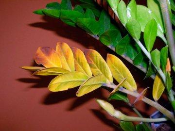 Желтеют листья долларового дерева