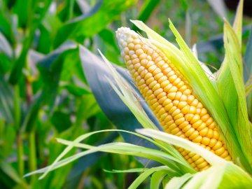 Кукуруза – что это за культура?