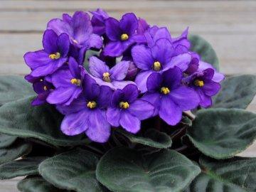Можно ли пересаживать фиалку во время цветения?