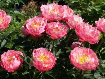 Особенности пиона, разновидности цветка