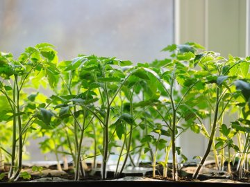 Выращивание и уход за рассадой