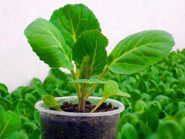 Все о выращивании рассады