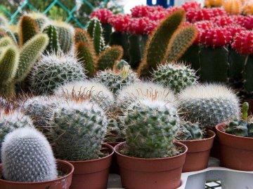 Обзор лучших сортов кактуса для выращивания
