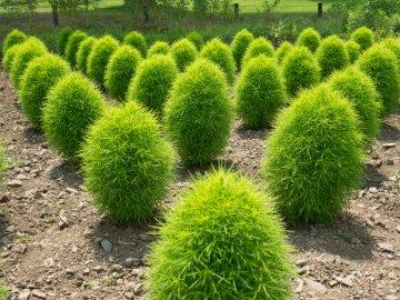 Условия его выращивания