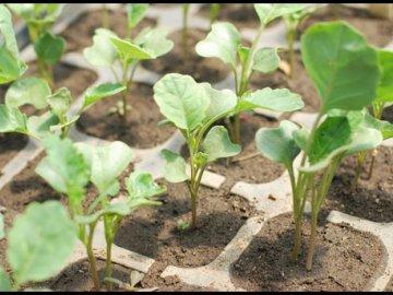 Выращивание брокколи рассадным способом