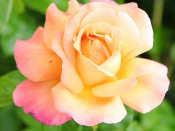 Виды роз для прививки