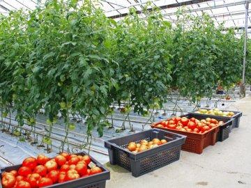 Помещение для выращивания томатов