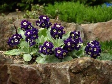 Другие способы выращивания первоцветов
