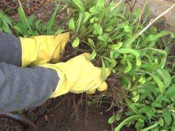 Посадка садовой ромашки